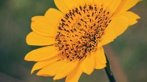 Bee on the sunflower